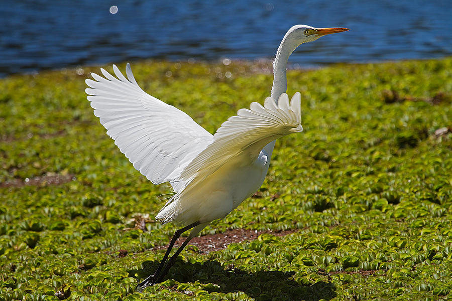 Egret Taking Off Photograph