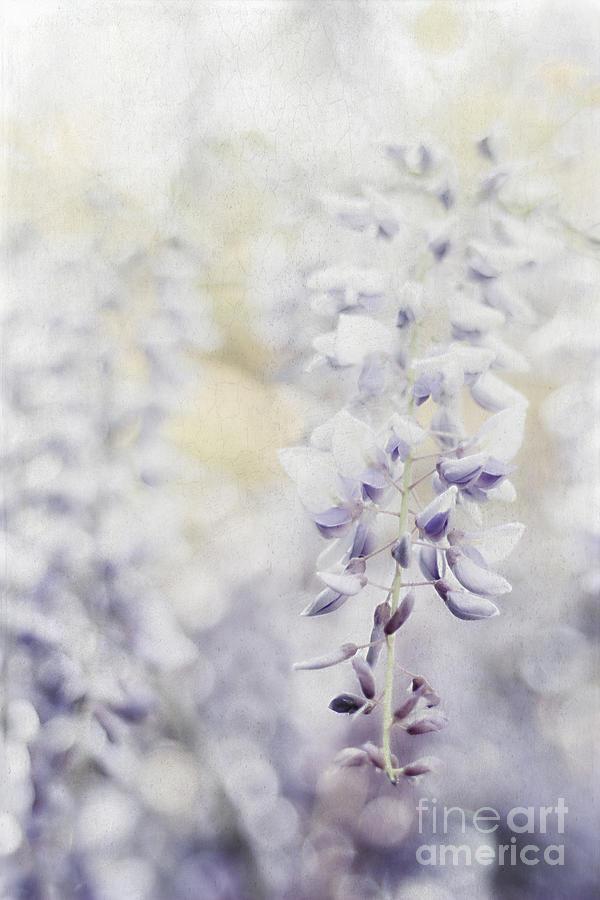 Asian Photograph - Elegant Wisteria by Darren Fisher