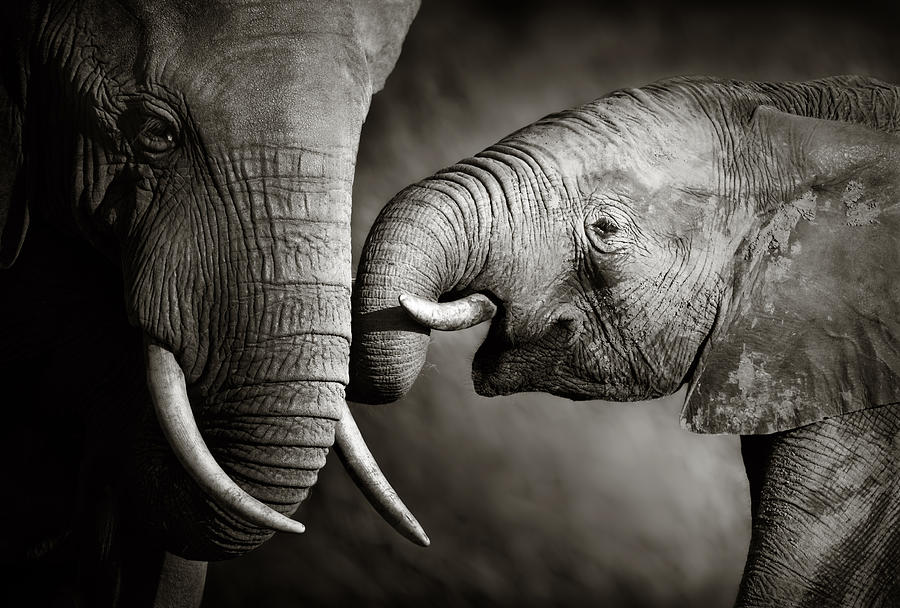 Elephant; Interact; Touch; Gently; Trunk; Young; Large; Small; Big; Tusk; Together; Togetherness; Passionate; Affectionate; Behavior; Art; Artistic; Black; White; B&w; Monochrome; Image; African; Animal; Wildlife; Wild; Mammal; Animal; Two; Moody; Outdoor; Nature; Africa; Nobody; Photograph; Addo; National; Park; Loxodonta; Africana; Muddy; Caring; Passion; Affection; Show; Display; Reach Photograph - Elephant Affection by Johan Swanepoel