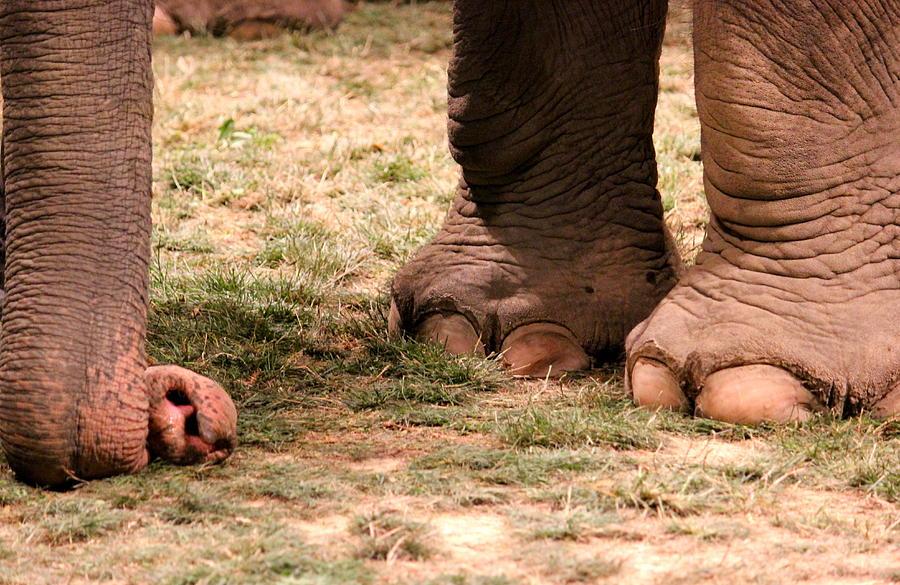 Elephant Photograph - Elephant by Amanda Just