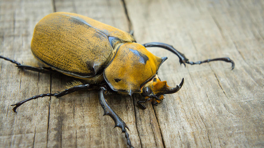 Animal Photograph - Elephant Beetle by Aged Pixel