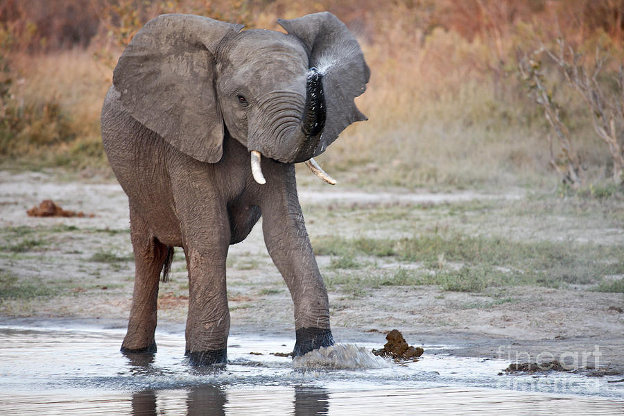 Elephant spraying water - photo#7
