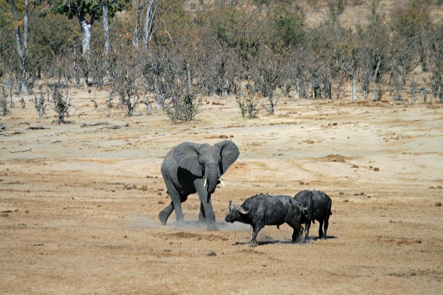 Elephant Charging Two ...