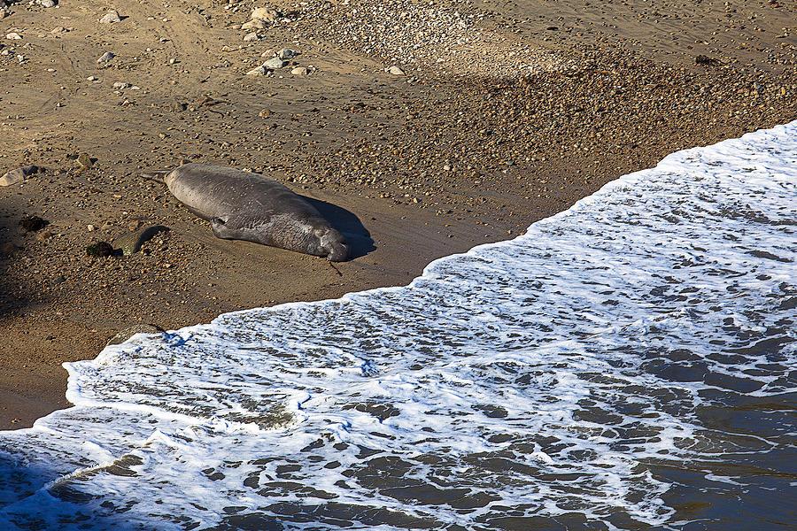 Elephant Seal Photograph - Elephant Seal Sunning On Beach by Garry Gay