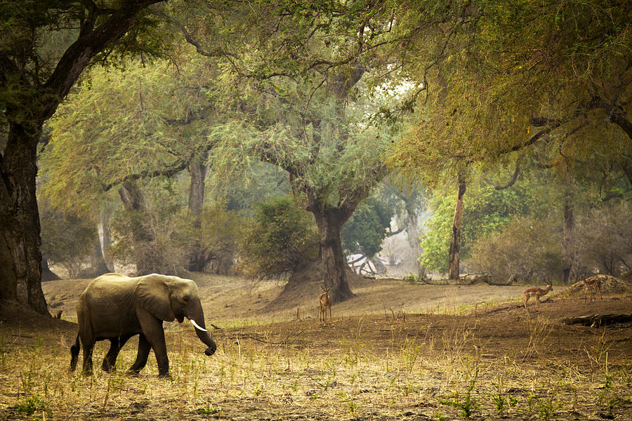 Elephant Photograph - Elephant Strolling In Enchanted Forest by Alison Buttigieg