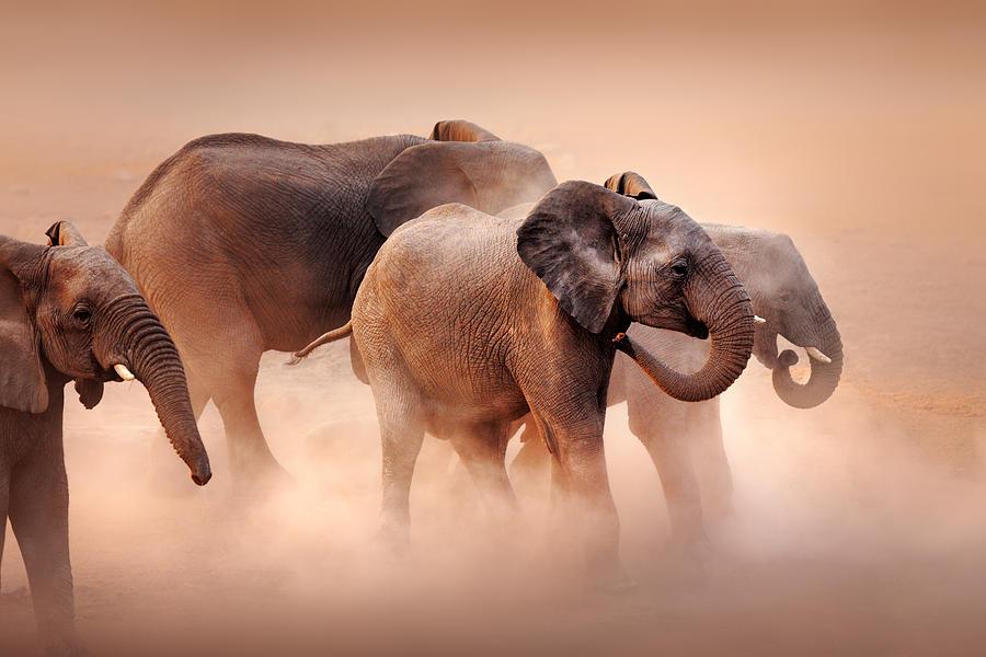 Elephants In Dust Photograph