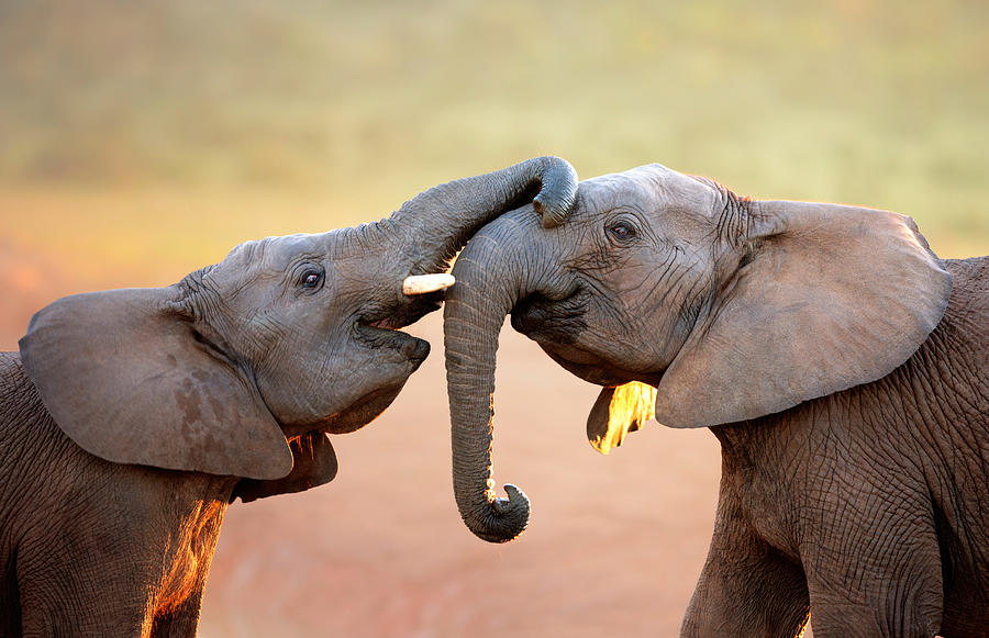 Elephants Touching Each Other Photograph