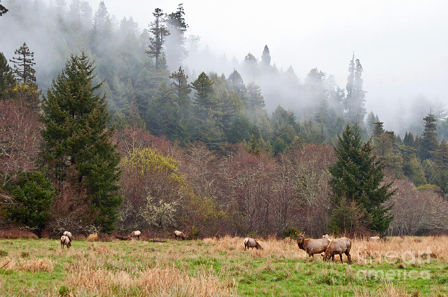 Elk In Fog - Herd Of Roosevelt Elk Cervus Canadensis Roosevelti Grazing In Elk Meadow. Photograph  - Elk In Fog - Herd Of Roosevelt Elk Cervus Canadensis Roosevelti Grazing In Elk Meadow. Fine Art Print