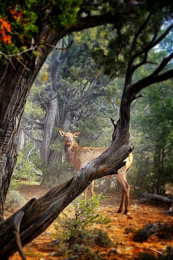 Elk In Grand Canyon Photograph