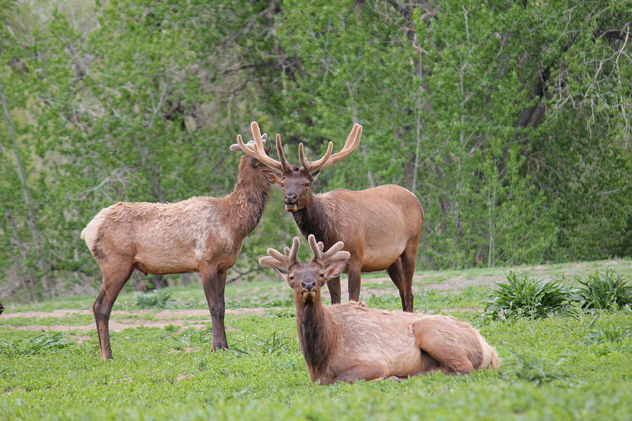 Elk In Velvet Photograph  - Elk In Velvet Fine Art Print