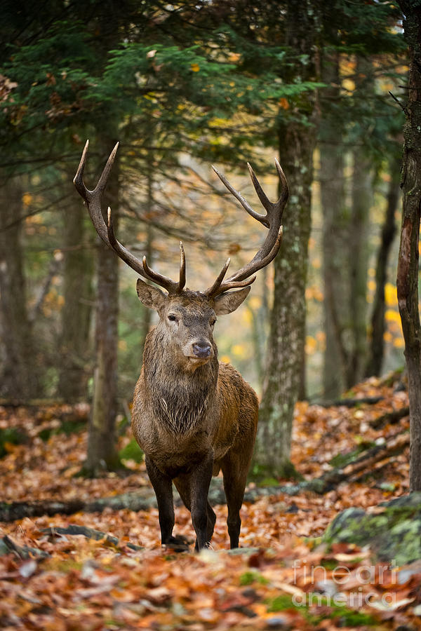 Elk Pictures 122 Photograph by World Wildlife Photography