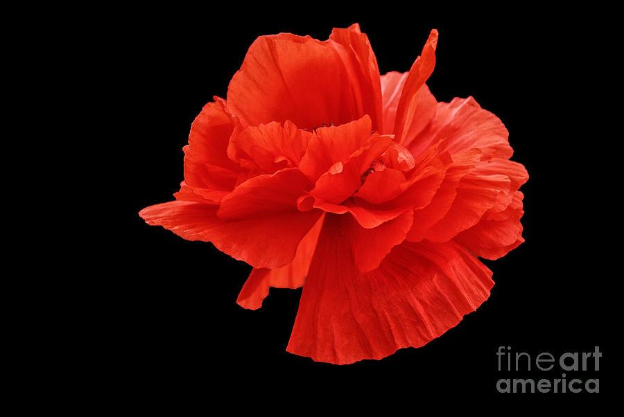 Emerging Poppy On Black Background Photograph