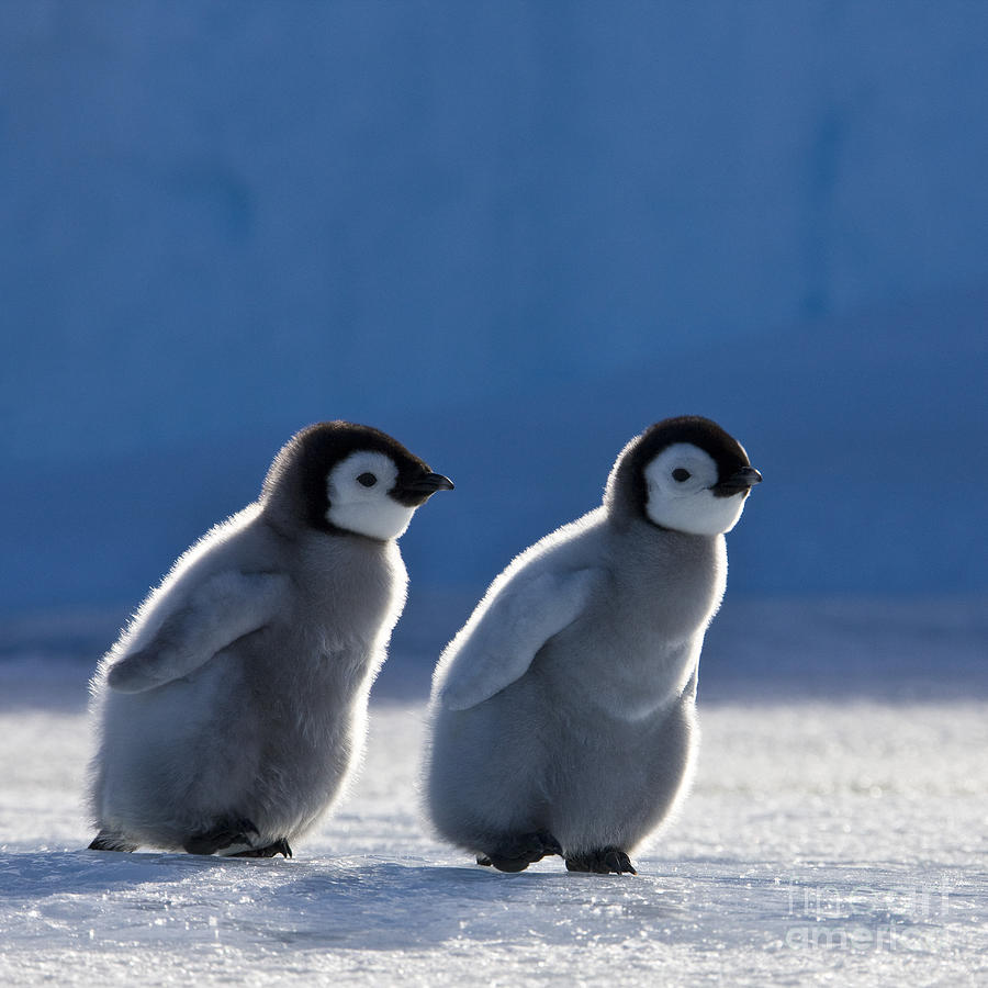 Emperor Penguin Photograph - Emperor Penguin Chicks by Jean-Louis Klein and Marie-Luce Hubert