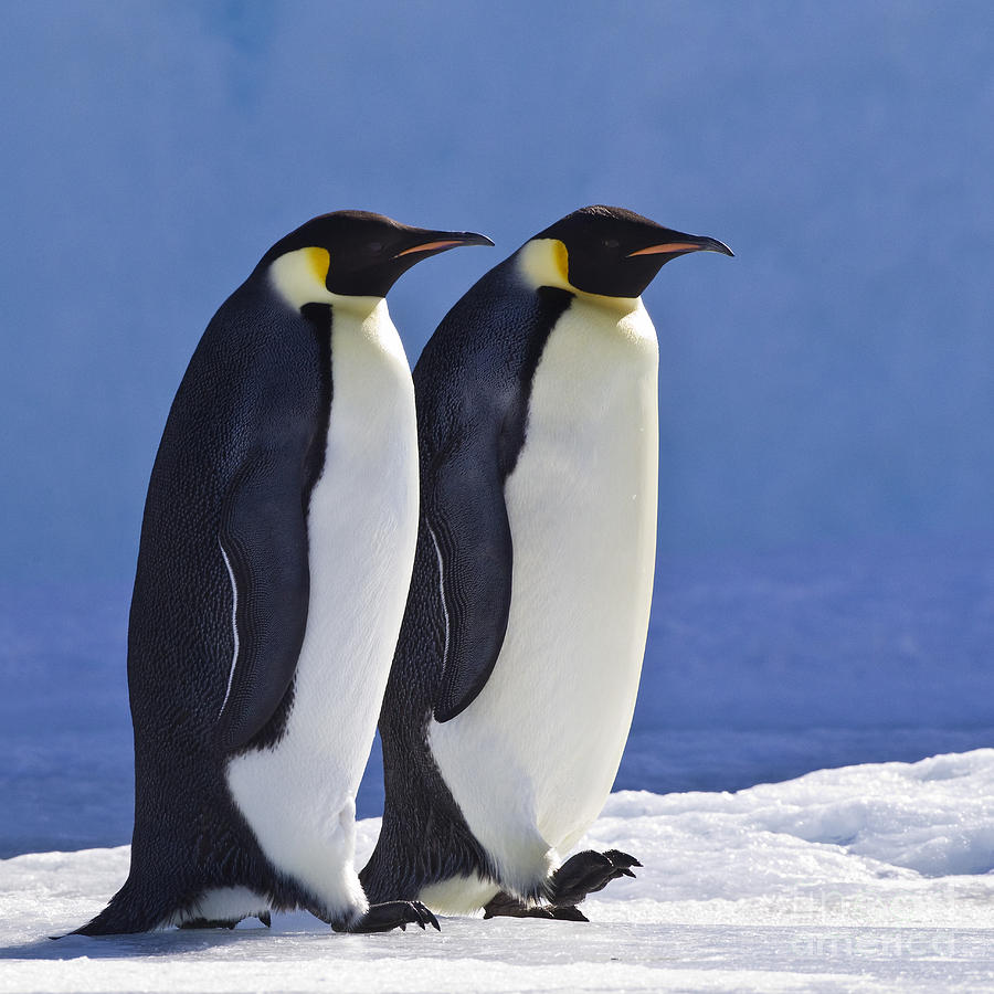 Emperor Penguin Photograph - Emperor Penguin Couple by Jean-Louis Klein and Marie-Luce Hubert