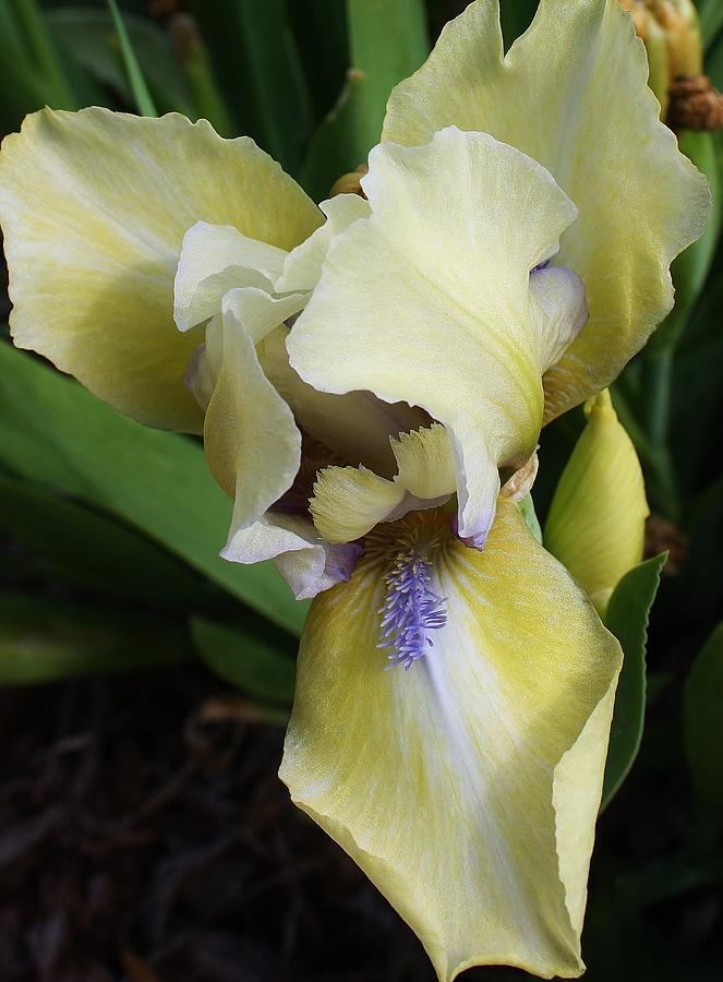 Enchanting Iris Photograph  - Enchanting Iris Fine Art Print