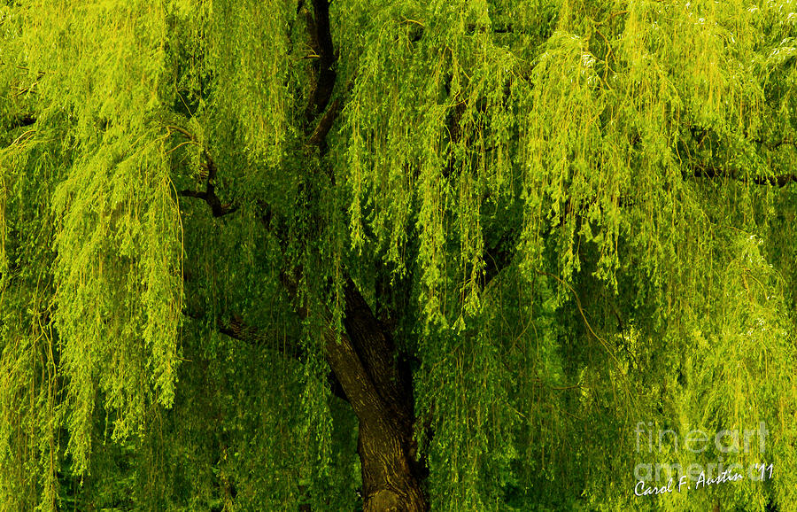 Weeping Willow Photograph - Enchanting Weeping Willow Tree by Carol F ...