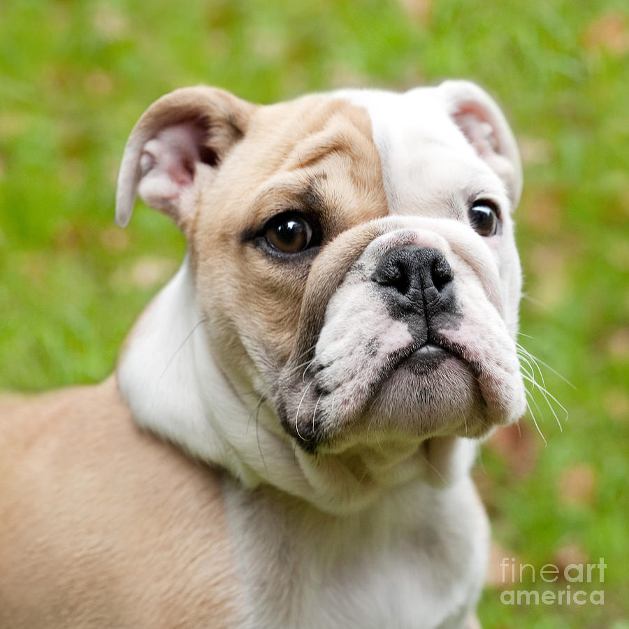 English Bulldog Puppy Photograph