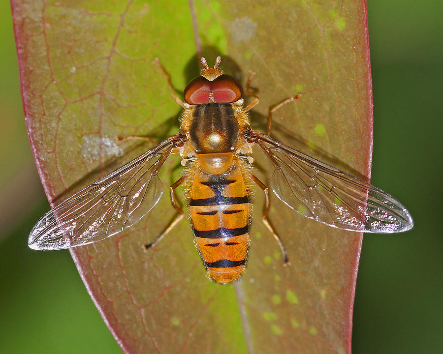 Episyrphus Balteatu Photograph