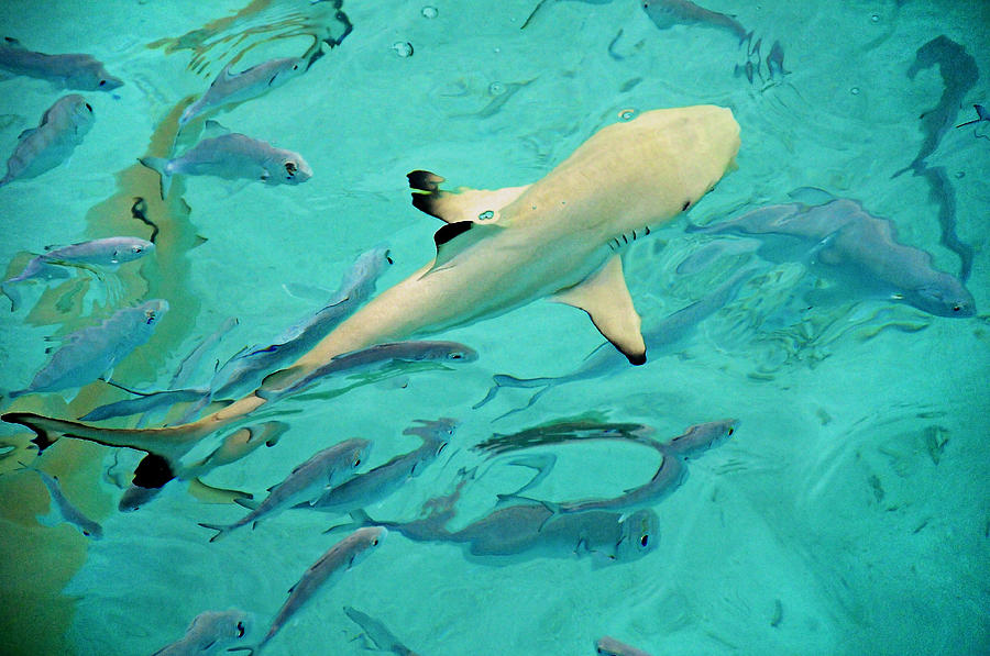 Fish Photograph - Escort  by Jenny Rainbow