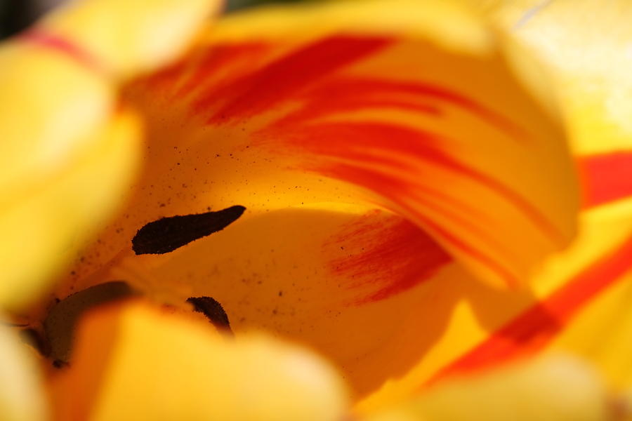 Essence Of Tulip Photograph  - Essence Of Tulip Fine Art Print