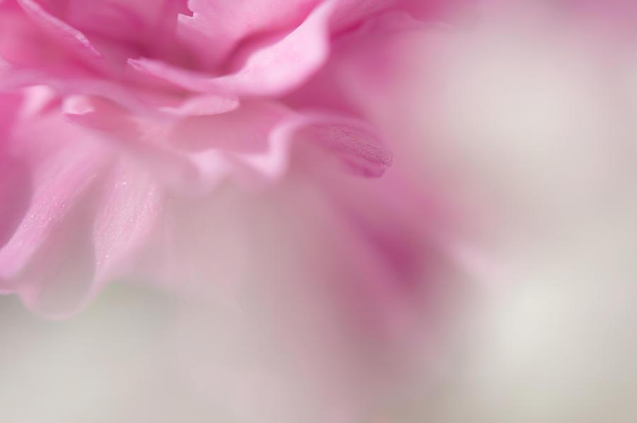Carnation Photograph - Et Si Tu N Existais Pas by Jenny Rainbow