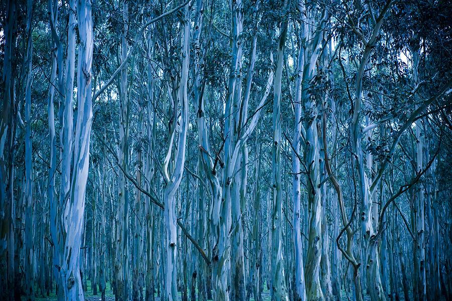 Eucalyptus Photograph - Eucalyptus Forest by Frank Tschakert