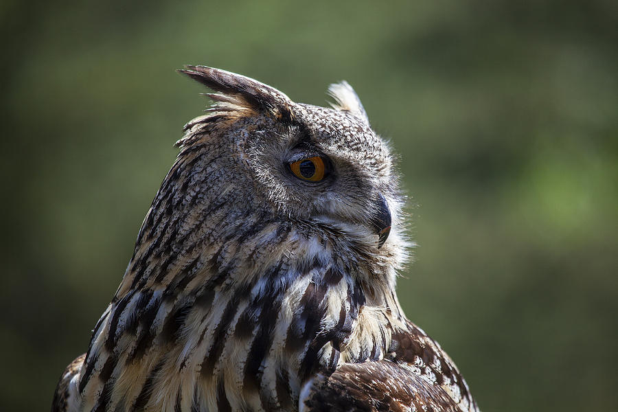 Eurasian Eagle-owl Photograph