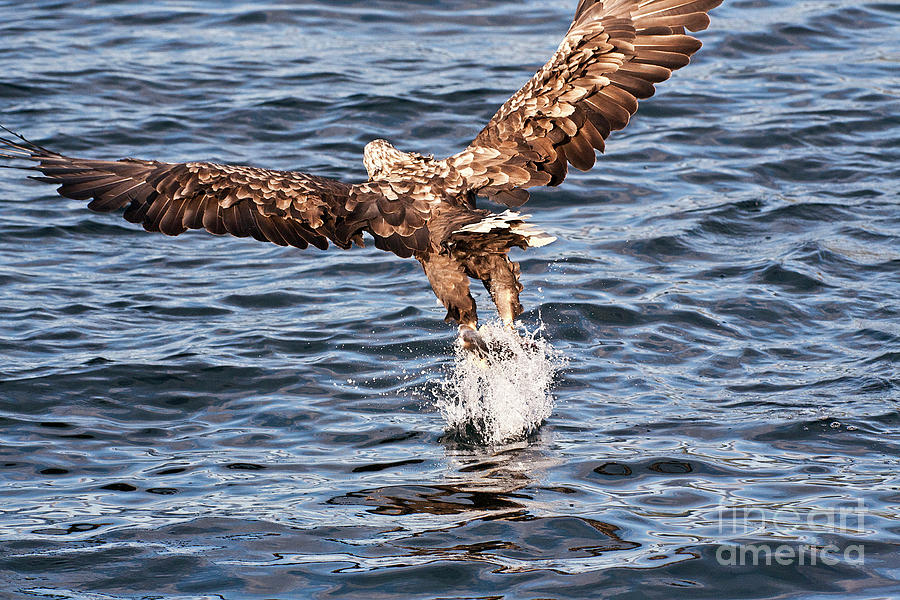 European Fishing Sea Eagle 2 Photograph