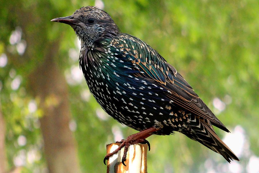 European Starling Bird Photograph by Dale Bargmann