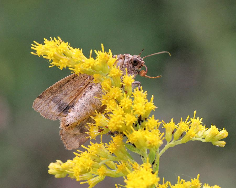 European Yellow Underwing Moth by Doris Potter