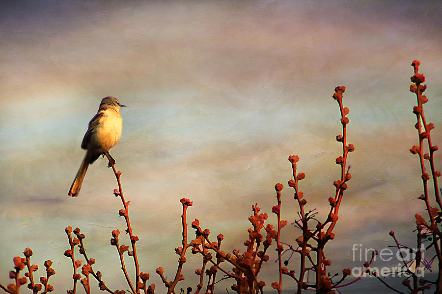 Evening Mocking Bird Photograph  - Evening Mocking Bird Fine Art Print