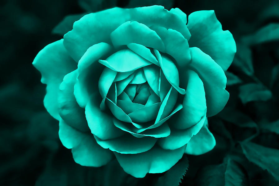 Evening Teal Rose Flower Photograph By Jennie Marie Schell