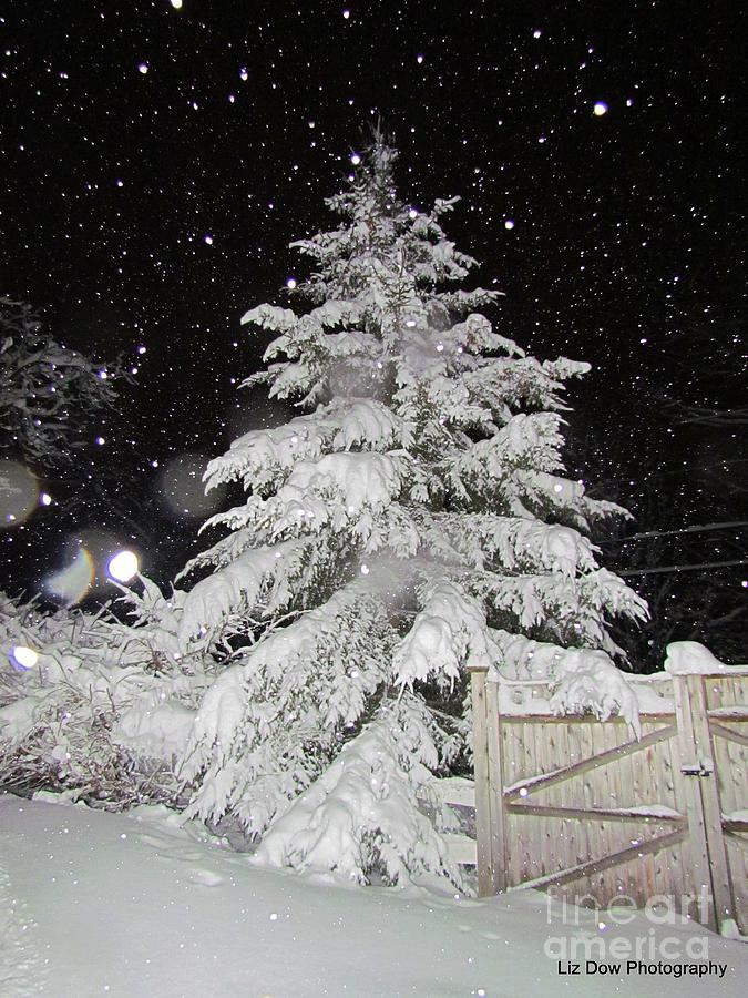 Evergreen Tree In Snow Photograph