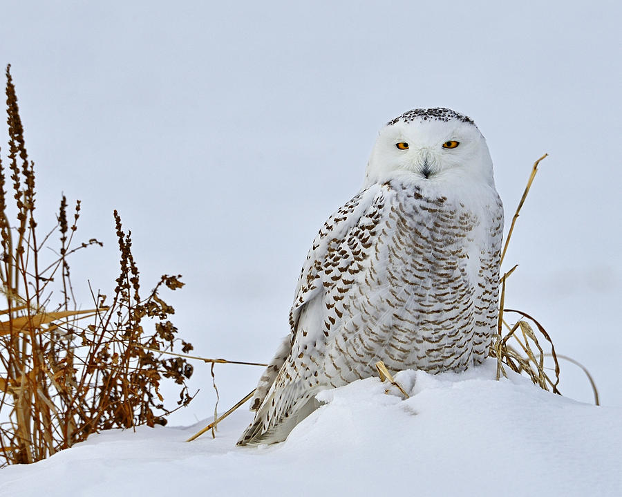 Snowy Owl Photograph - Everywhere by Tony Beck
