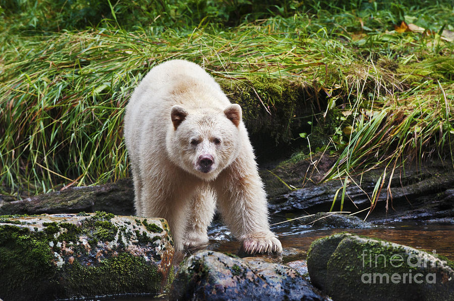 Eye Contact With Spirit Bear Photograph  - Eye Contact With Spirit Bear Fine Art Print