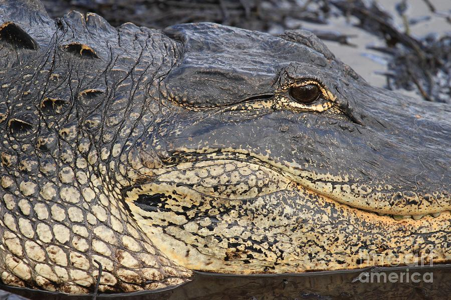 Eye Of The Gator Photograph