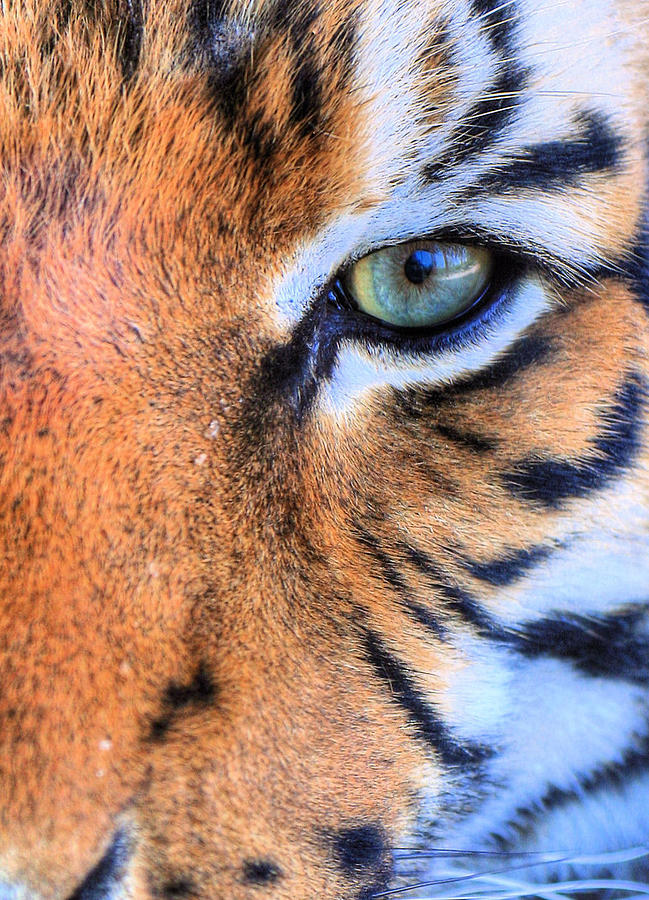 Eye Of The Tiger Photograph