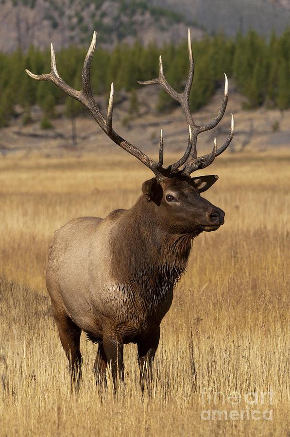 Yellowstone Photograph - Eyeing The Harem by Sandra Bronstein