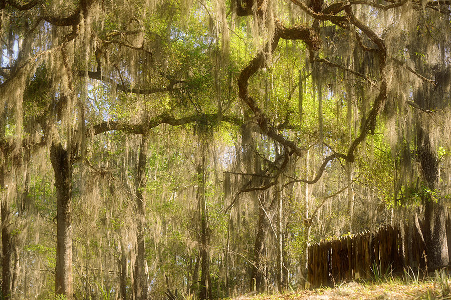 Fabulous Spanish Moss Photograph  - Fabulous Spanish Moss Fine Art Print