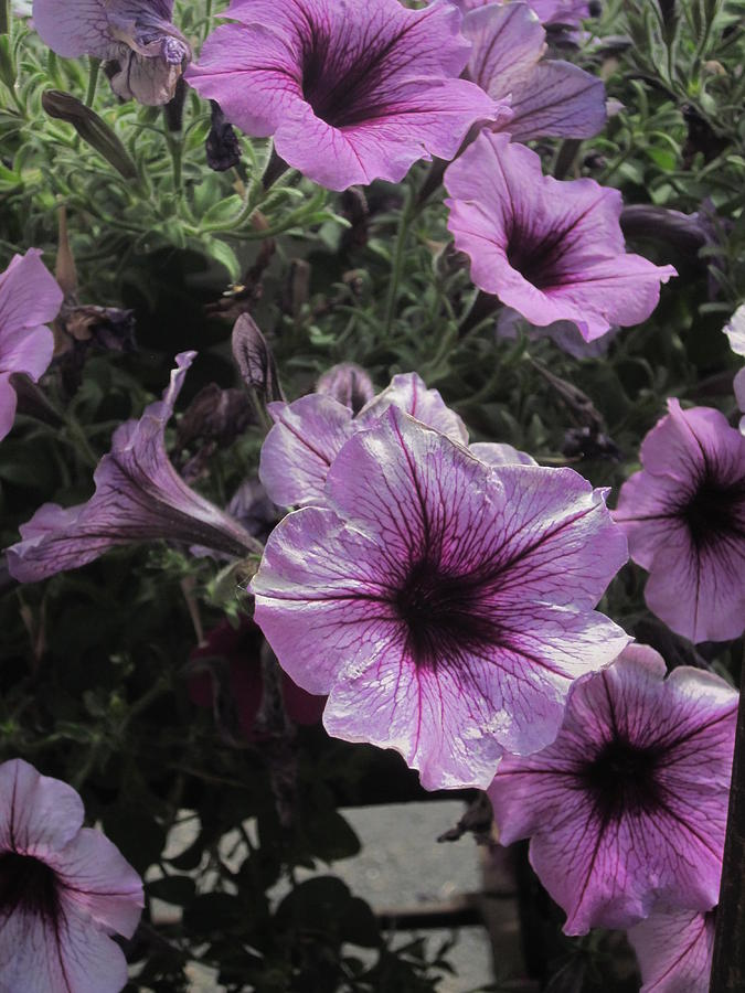 Faces Of Petunias Photograph  - Faces Of Petunias Fine Art Print