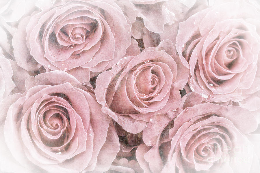 Background Photograph - Faded Roses by Jane Rix