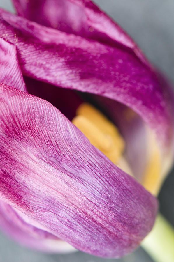Fading Tulip Photograph