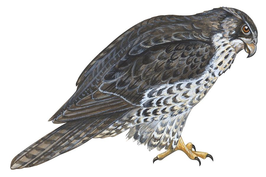 No People; Horizontal; Side View; Full Length; White Background; One Animal; Wildlife; Close Up; Zoology; Illustration And Painting; Bird; Beak; Feather; Talon; Animal Pattern; Falcon; Falco Rusticolus; Bird Of Prey Painting - Falcon by Anonymous
