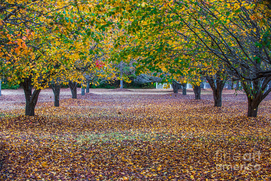 Fall Allee Photograph
