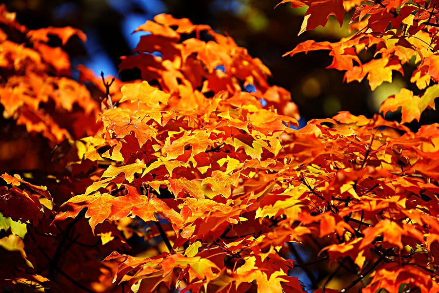 Fall Foliage Colors 16 Photograph  - Fall Foliage Colors 16 Fine Art Print