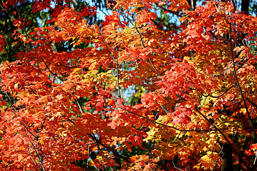 Fall Foliage Colors 22 Photograph  - Fall Foliage Colors 22 Fine Art Print