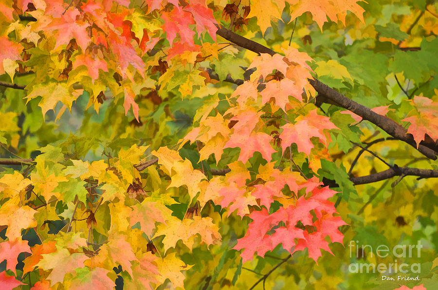 Fall Leaves Maple Tree Photograph