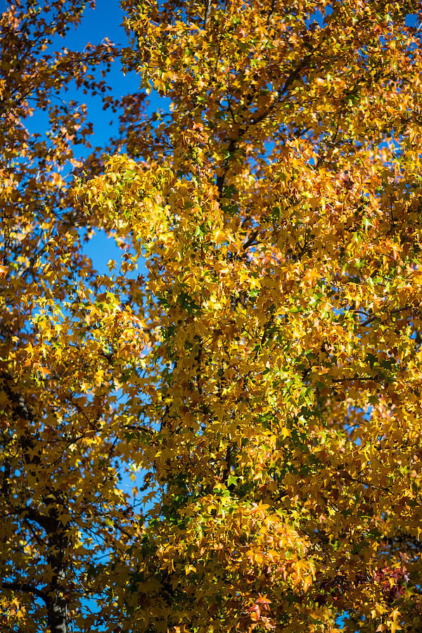 Fall Leaves Photograph  - Fall Leaves Fine Art Print
