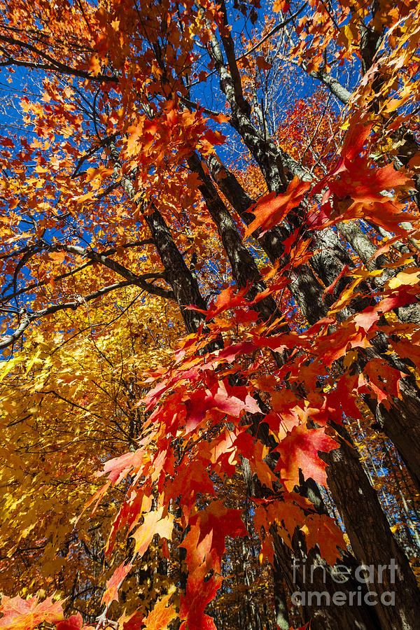 Fall Photograph - Fall Maple Forest by Elena Elisseeva