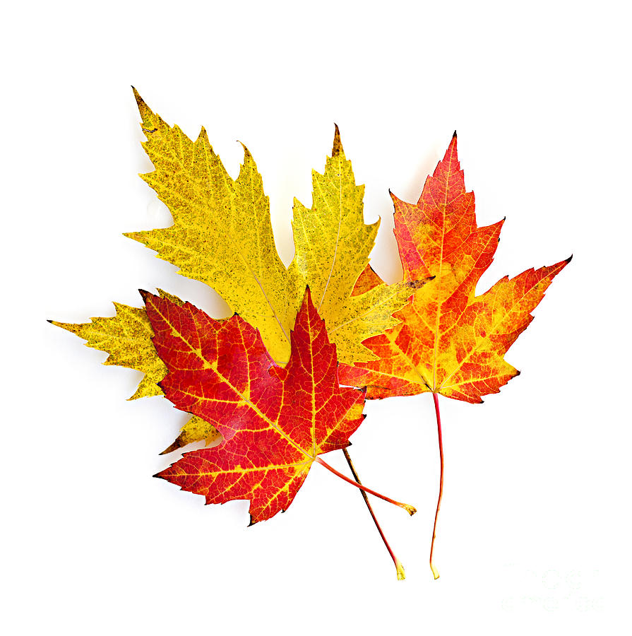 Fall Maple Leaves On White Photograph